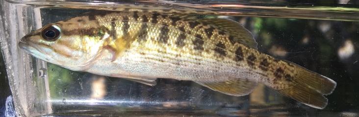 Altamaha Bass (Micropterus sp. cf. cataractae)